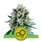 Bubble Kush Automatic (Royal Queen Seeds) feminisiert