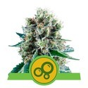 Bubble Kush Automatic (Royal Queen Seeds) feminized