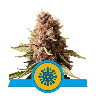 Euphoria (Royal Queen Seeds) feminisiert