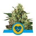 Medical Mass (Royal Queen Seeds) femminizzata