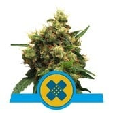 Painkiller XL (Royal Queen Seeds) feminized