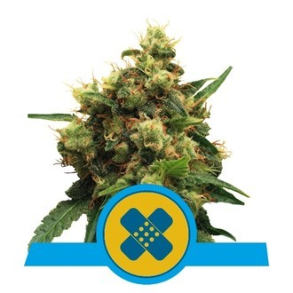 Painkiller XL (Royal Queen Seeds) feminisiert
