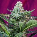 Mohan Ram Auto (Sweet Seeds) feminized