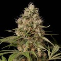 Shark Shock CBD (Dinafem) feminized