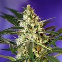 Fast Bud 2 Auto (Sweet Seeds) femminizzata
