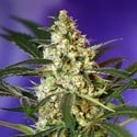 Fast Bud 2 Auto (Sweet Seeds) feminized