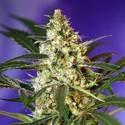 Fast Bud 2 Auto (Sweet Seeds) feminisiert