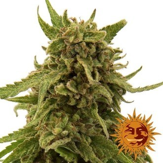 CBD Critical Cure (Barney's Farm) feminized