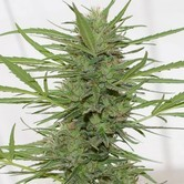 Dedoverde Haze Autoflowering (Humboldt Seeds) feminisiert