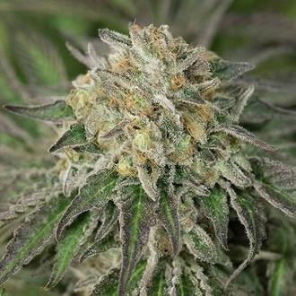 Amherst Sour Diesel (Humboldt Seeds) femminizzata