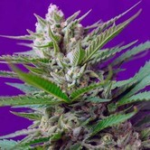 Speed Devil 2 (Sweet Seeds) femminizzata