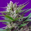 Speed Devil 2 (Sweet Seeds) feminisiert