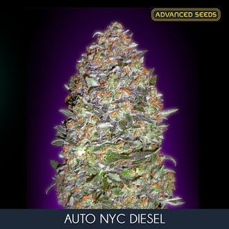Auto NYC Diesel (Advanced Seeds) feminized