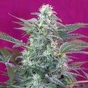 Big Foot (Sweet Seeds) feminized
