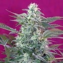 Big Foot (Sweet Seeds) femminizzata