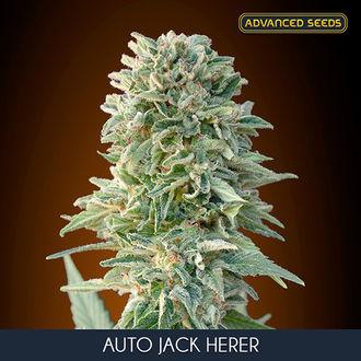 Auto Jack Herer (Advanced Seeds) feminisiert