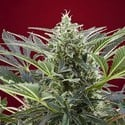 Cream 47 (Sweet Seeds) feminized