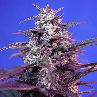 Bloody Skunk Auto (Sweet Seeds) feminized