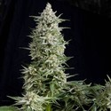 Amnesia Gold (Pyramid Seeds) feminized