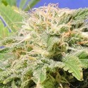 Kali AK (Original Sensible Seeds) feminized