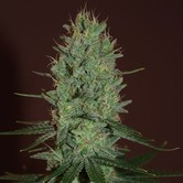 Amnesia Haze (Expert Seeds) feminisiert
