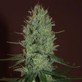 Amnesia Haze (Expert Seeds) feminized