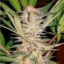 S.A.D. S1 (Sweet Seeds) feminized