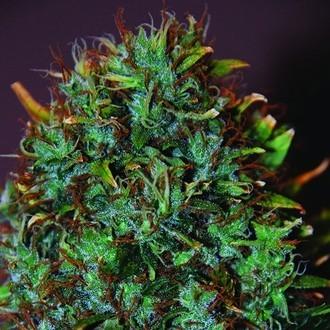Expert Haze (Expert Seeds) feminisiert