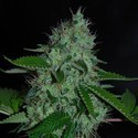 White Widow (Expert Seeds) femminizzata