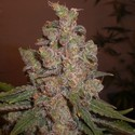 Funky Skunk (Expert Seeds) feminized