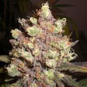 LSD Poison (Expert Seeds) feminisiert