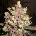 LSD Poison (Expert Seeds) feminized