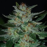 Blue Cheese (Expert Seeds) feminized