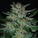 Blue Cheese (Expert Seeds) feminisiert