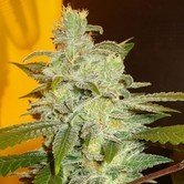 Northern Lights (Expert Seeds) feminized