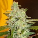 Northern Lights (Expert Seeds) feminisiert