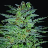 OG Kush (Expert Seeds) feminized