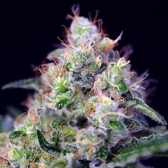 Cream Caramel (Sweet Seeds) feminisiert