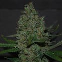 Maple Leaf x Black Domina (Expert Seeds) feminisiert
