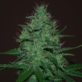 Amnesia Haze Auto (Expert Seeds) feminized