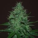 Amnesia Haze Auto (Expert Seeds) feminized
