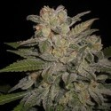 Northern Light Auto (Expert Seeds) feminized