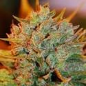 Northern Light x Big Bud Auto (Expert Seeds) feminized