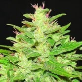 Auto Kush (Expert Seeds) feminized