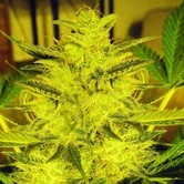 Caramella Auto (Expert Seeds) feminized