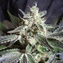 Black Jack (Sweet Seeds) feminisiert