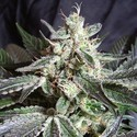 Black Jack (Sweet Seeds) femminizzata