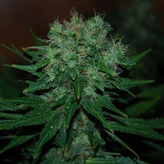 Blue Cheese Auto (Expert Seeds) feminisiert