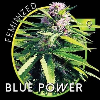 Blue Power (Vision Seeds) femminizzata