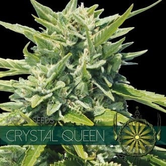 Crystal Queen (Vision Seeds) feminisiert